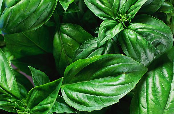 gyógynövények a paraziták bazsalikom