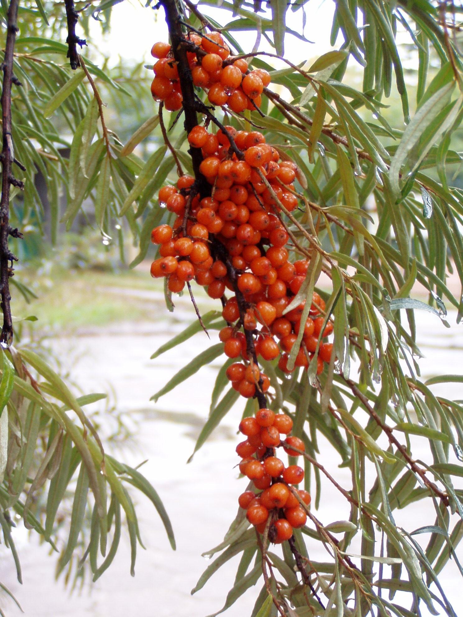 Homoktövis magolaj 50ml | % Homoktövis olaj | Gyulladáscsökkentő